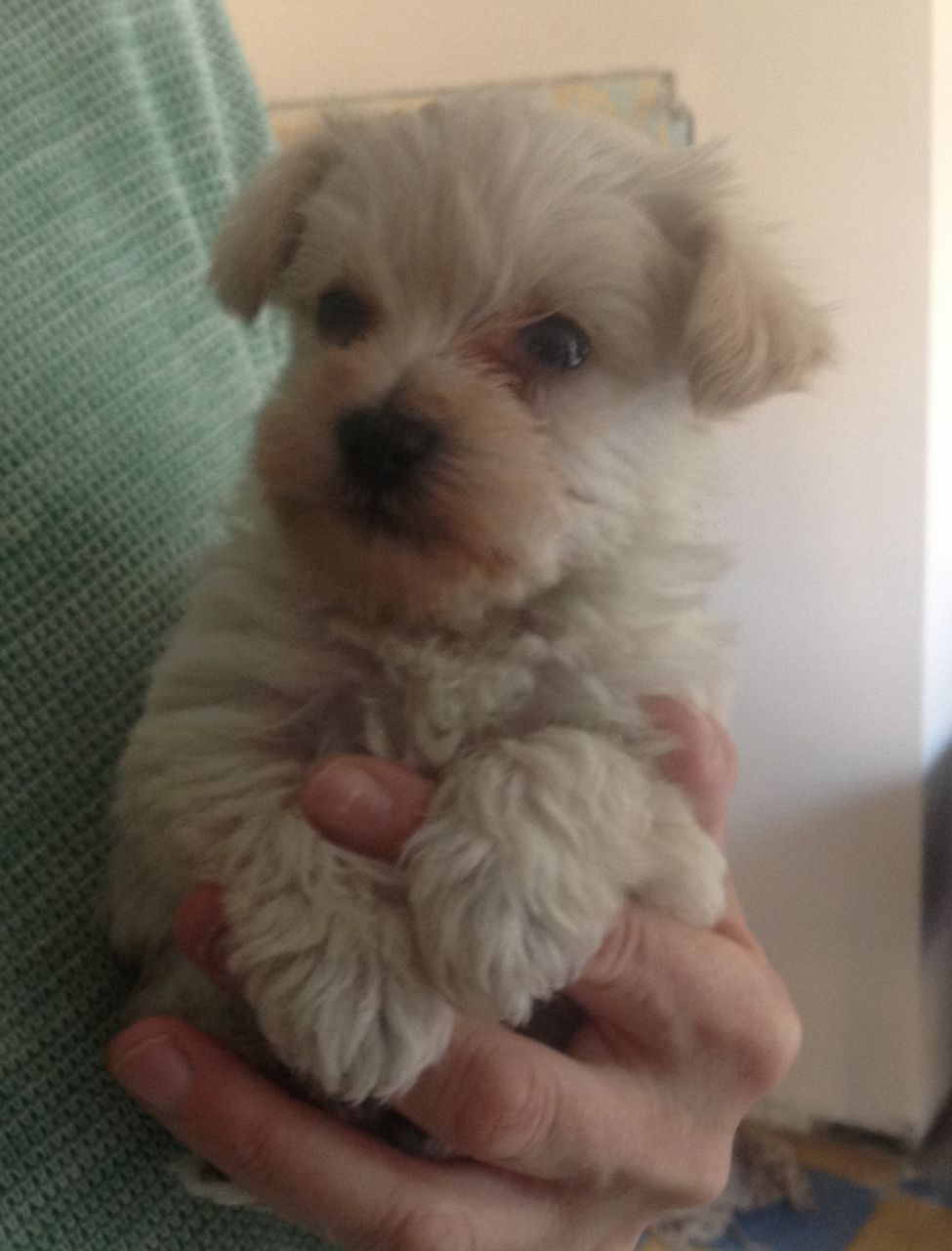 TINY WESTIE X TEACUP TOY POODLE PUPPIES FOR SALE Toy
