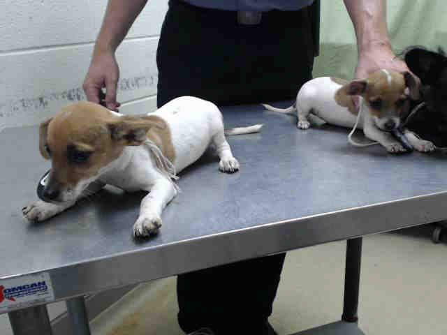 Harris County Houston High Kill Shelter Chihuahua Puppies