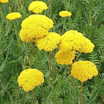 Yarrow Seed Fernleaf Yarrow Flower Seeds Flower Seeds Yarrow Flower Trees To Plant