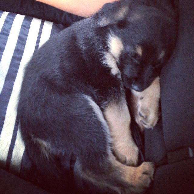 Of The Most Insanely Awkward German Shepherd Sleeping Positions - 30 adorable dogs sleeping awkward positions