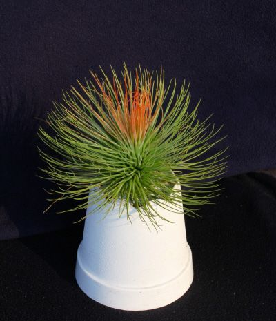 Tillansia Air Plants Tillandsia Air Plant Tillandsia
