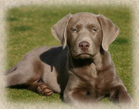 Pin On Labrador Retriever Puppies For Sale In North Carolina
