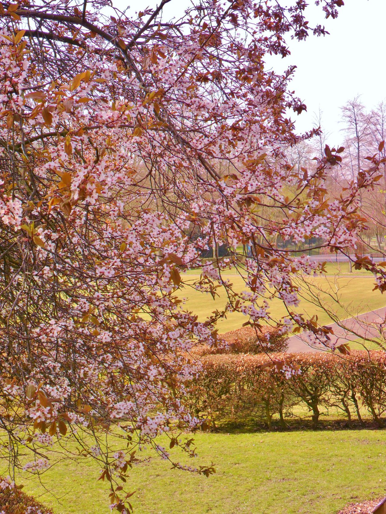 vwcampervan-aldridge:  Cherry Blossom in Walsall Arboretum, Walsall, England All Original Photography by vwcampervan-aldridge