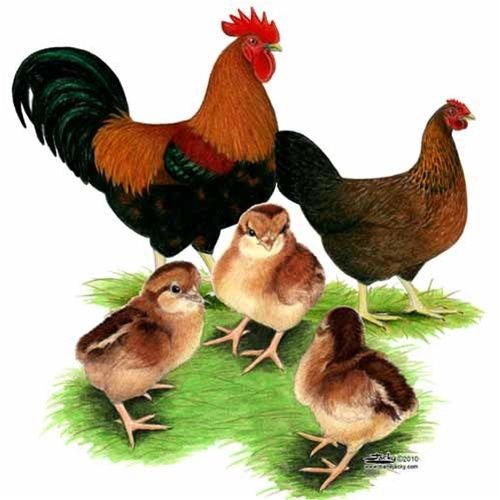 Welsummer Chicks Good Egg Production Very Rare Holland