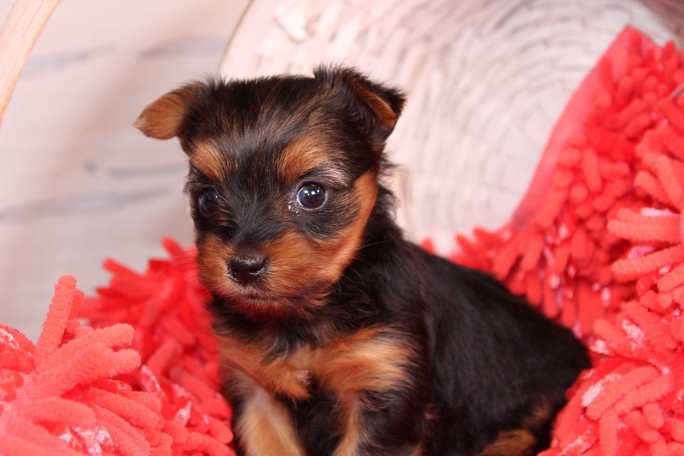 Pin by VIP Puppies Animals, Dogs, & on Puppies for Sale