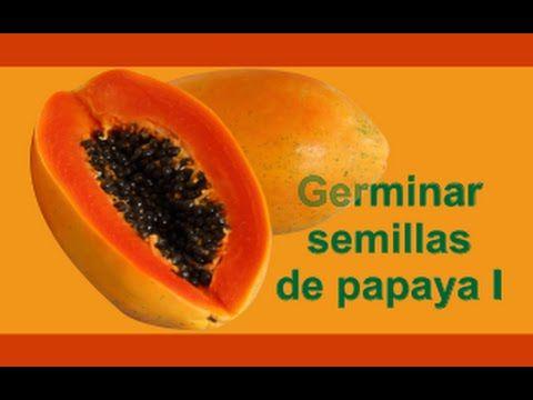 PAPAYA carica papaya FRUTO GIGANTE delicioso 1000 semillas frescas