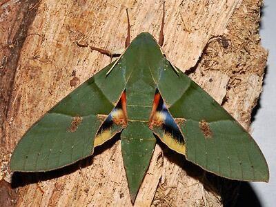 Gaudy Sphinx Moth Eumorpha Labruscae 11 Cm North America Tiere Fliegende Insekten Insekten