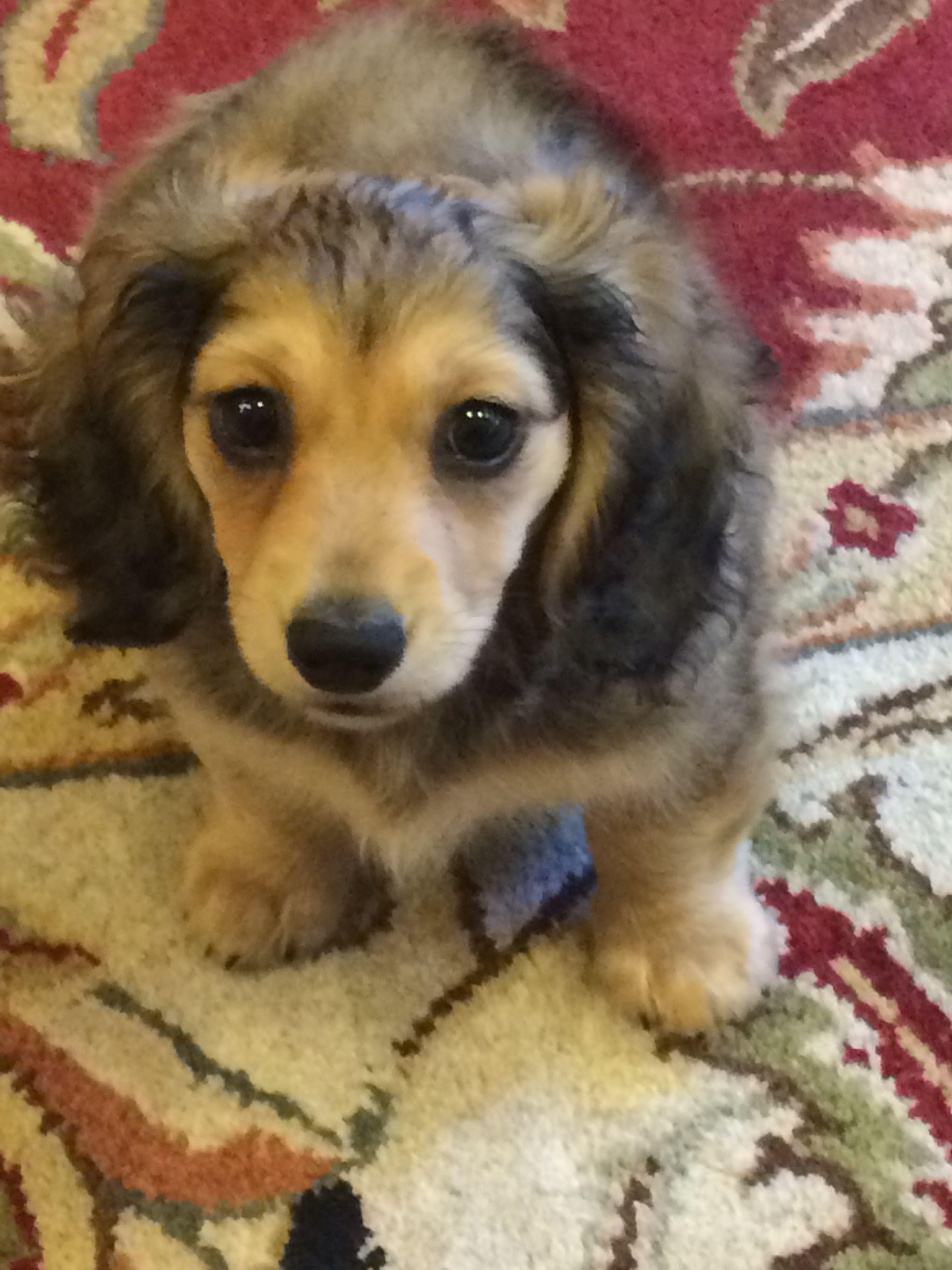 Dachshund puppy dachshund puppy dachshund puppies