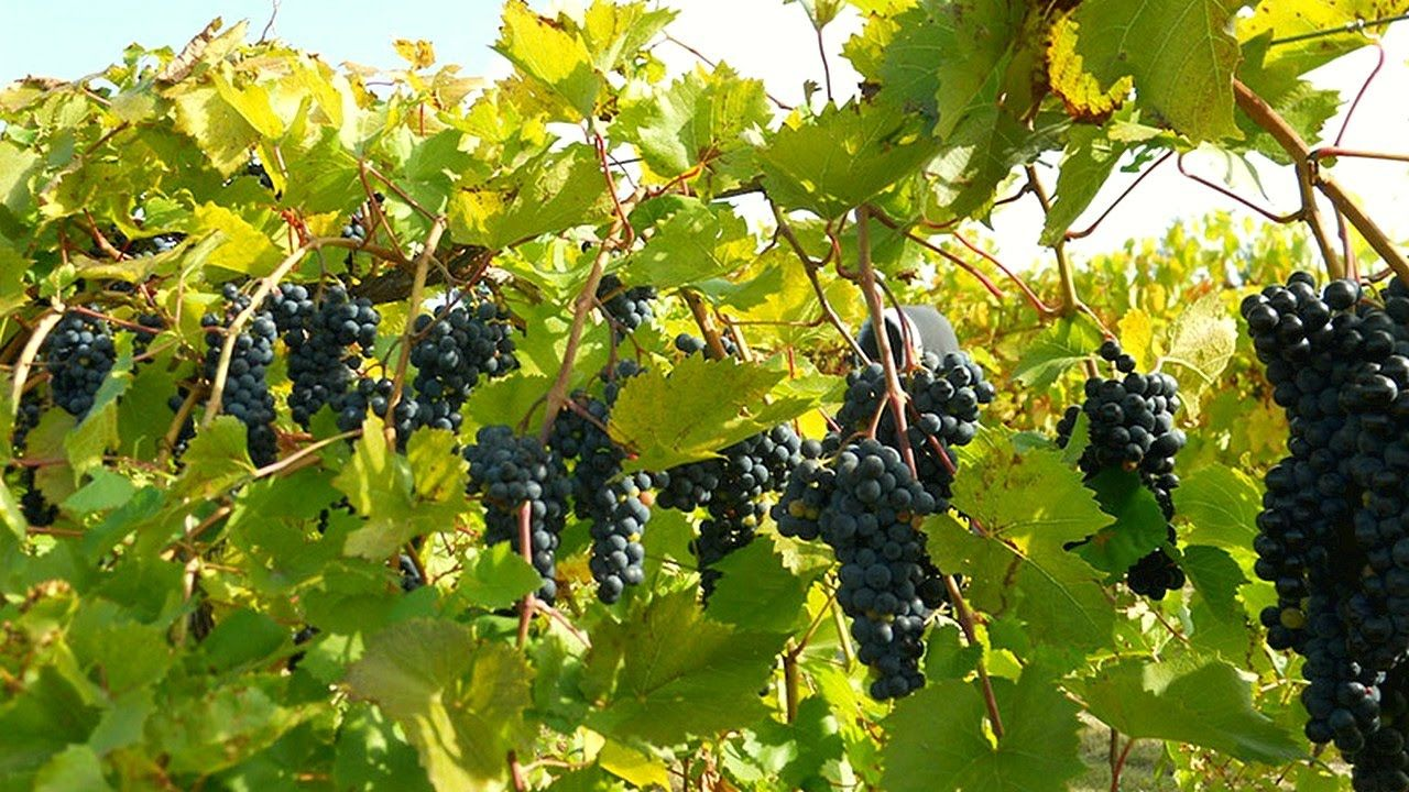 Turn A Few Grape Vines Into An Entire Vineyard In A Couple Weeks