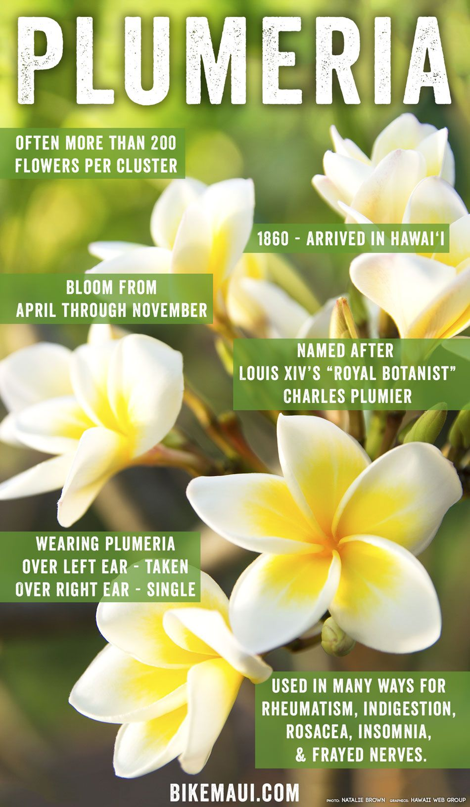 70712e32c Plumeria: Whether worn in a lei, tucked behind an ear, or flourishing on  the lawn of a resort, the sultry and fragrant plumeria might just be the  unofficial ...