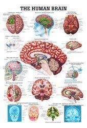 The Human Brain Laminated Anatomy Chart