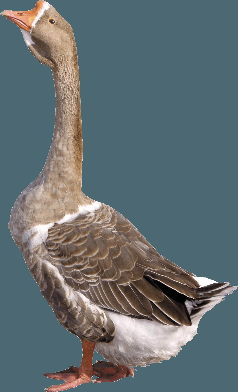 Grey Young Goose Png Image Pet Birds Goose Drawing Zoo Prints