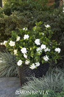 Monrovia S August Beauty Gardenia Grafted Details And