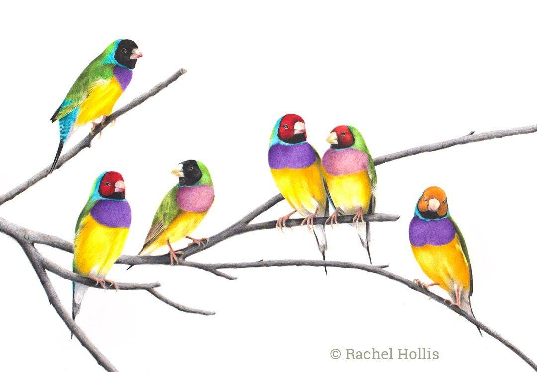 John Gould Native bird Rainbow Lorikeet art print painting Vintage Old Australia