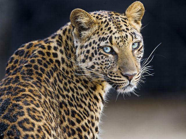 Pretty Choetta | por Tambako the Jaguar