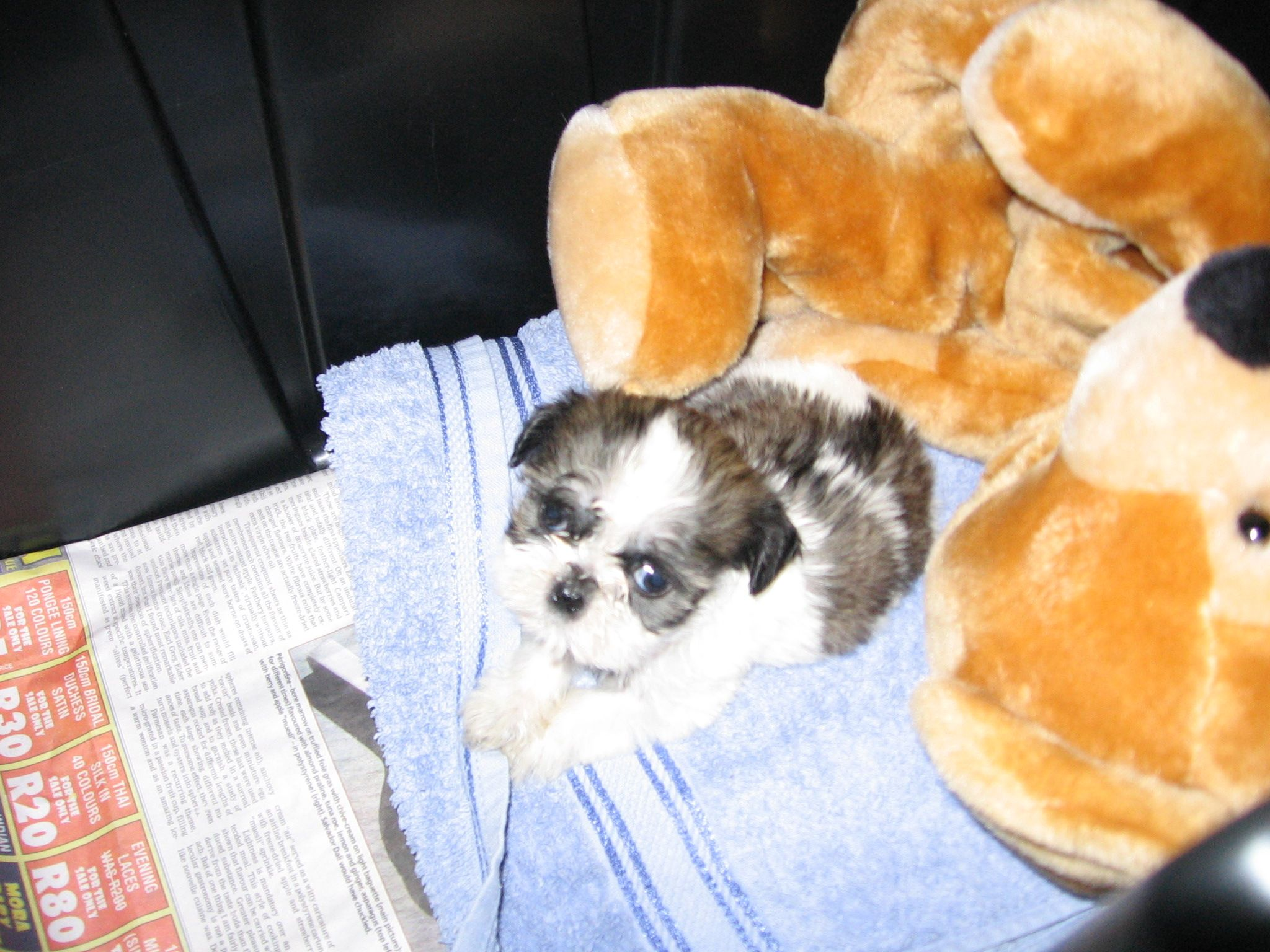 Sushi At 6 Weeks Shih Tzu Pinterest