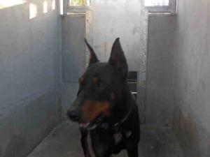 Ace Is An Adoptable Doberman Pinscher Dog In Losangeles
