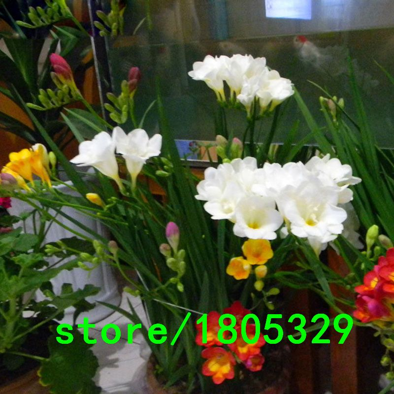 Hot Selling Rare White Freesia Seeds Freesia Flower Pot Garden Seeds Garden Terrace Perennial Flower Seeds 100pcs Free Shipping