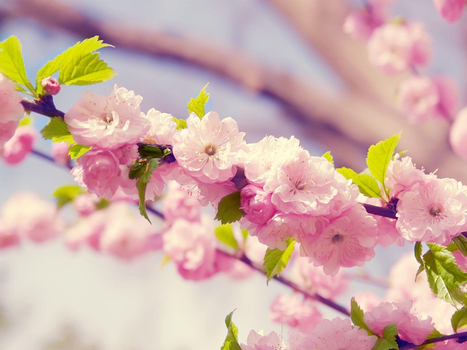 Wallpaper japanische kirschblüten  Pin by Gabriela Mayén on Cerezo Japonés | Pinterest | Cherry ...