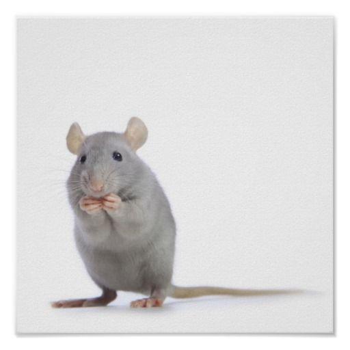 Little Rat Poster Zazzle Com Rats Animals Art Poses