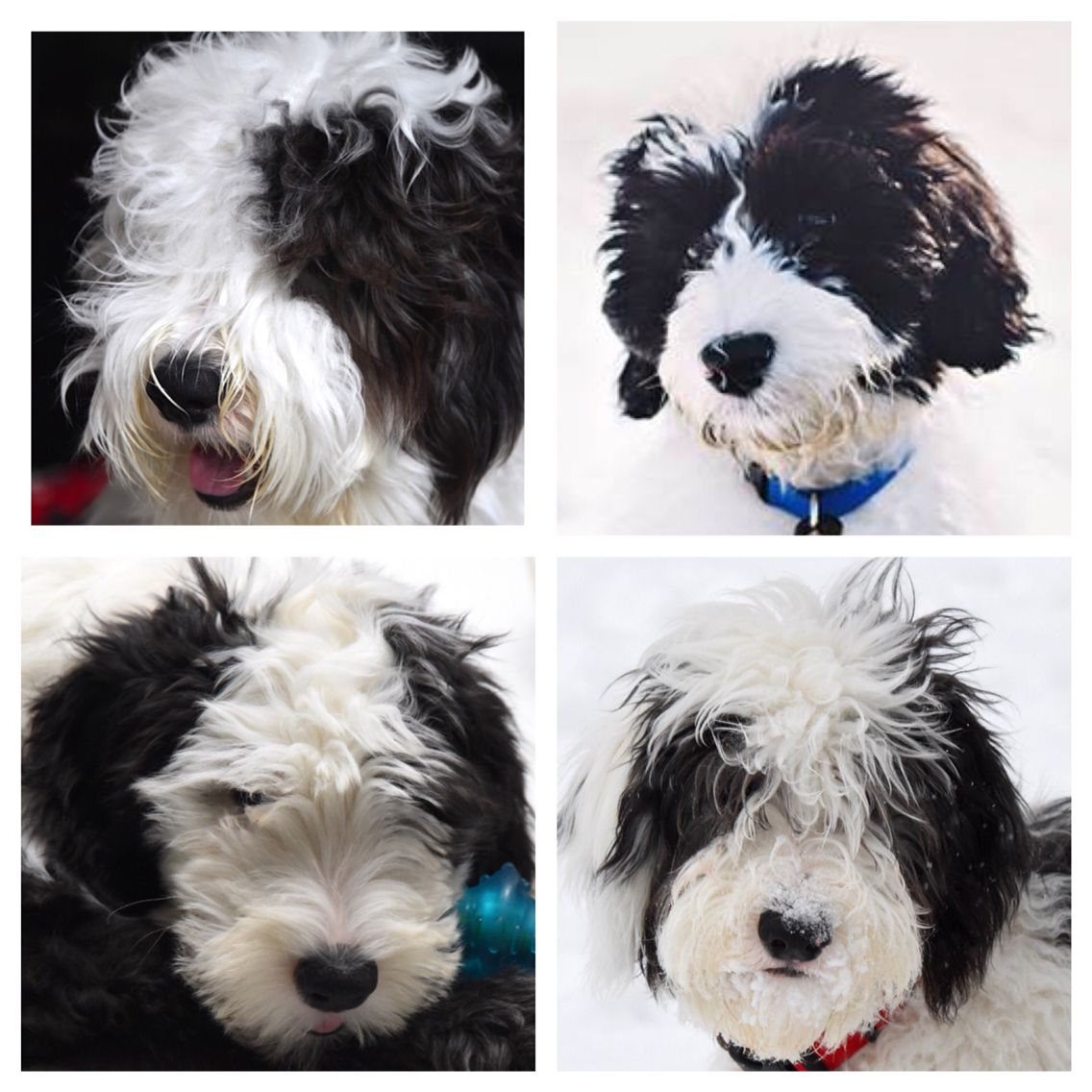 Sheepadoodle puppies Feathers And Fleece Sheepadoodle