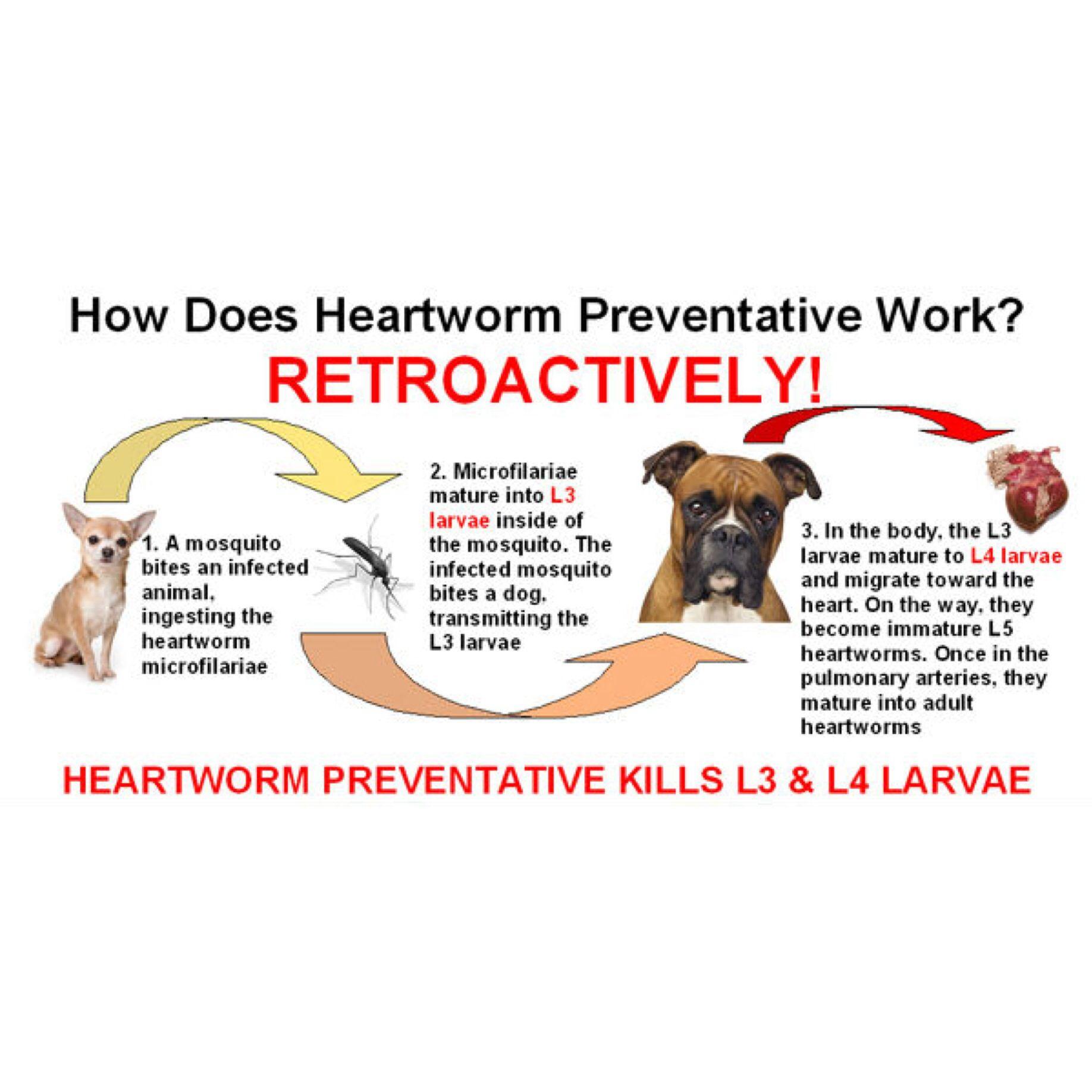 How it works Heartworm, Heartworm awareness, Dog health