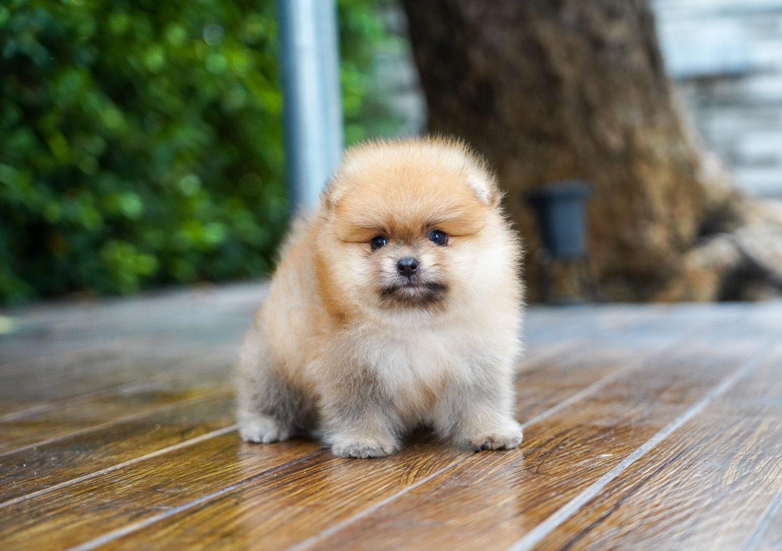Orange Teacup Pomeranian Puppy Pomeranian Puppy Teacup