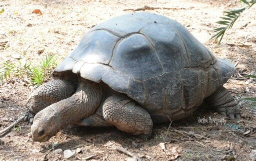 Gala Pogus Glant Tortoise At Nehru Zoological Park Also Known As