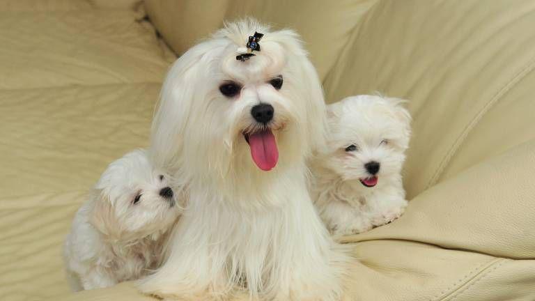Trotz StofftierOptik Der Malteser ist ein robuster Hund