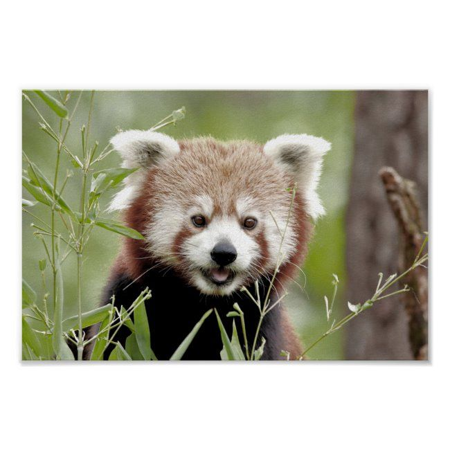 Photo red panda  animals 0510. poster #red #white #rouge #green #nature #poster