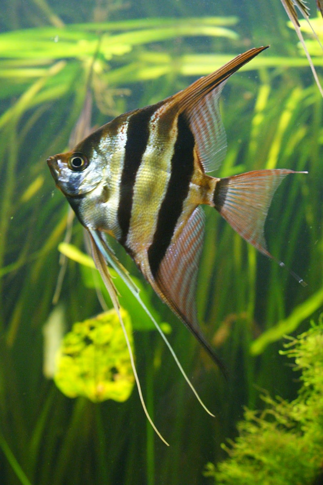 Freshwater aquarium fish angelfish - Adult Majestic Pterophyllum Altum Fish Aquariumsaquarium Fishangelfishbeautiful