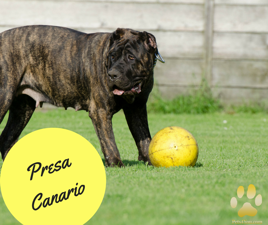 The Presa Canario Or Canary Dog Was Historically A Guardian Dog Who Excelled At Driving Cattle The Breed Originated On T Presa Canario Dogs Puppies For Sale