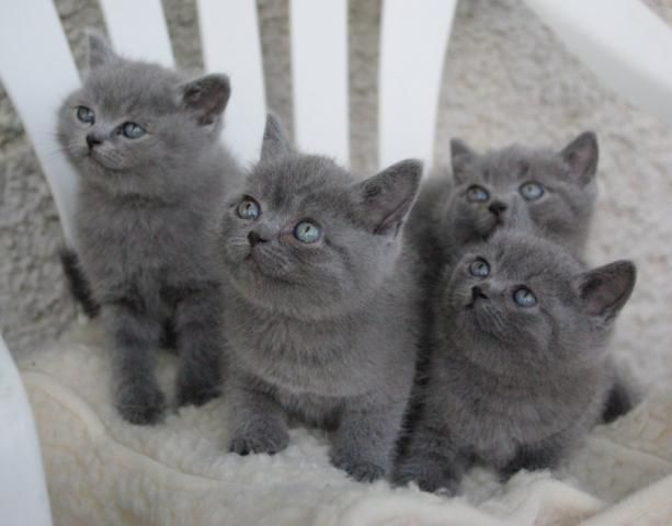 British shorthair bleu Baby cats, Cats and kittens, Grey