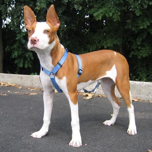 Adopt Raylie Lsp On American Bulldog Mix Pharaoh Hound Dogs