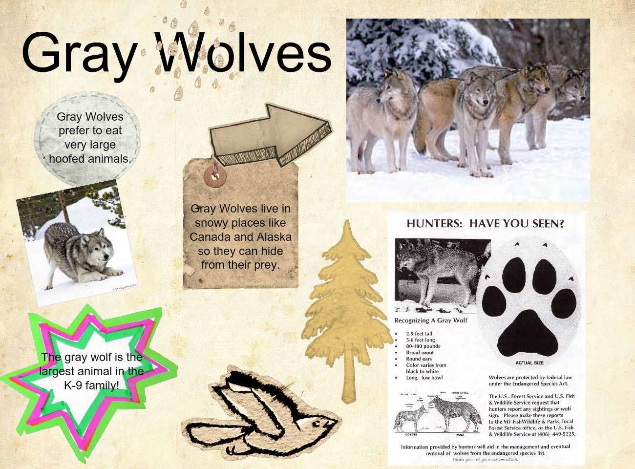 Some-Gray-Wolf-Facts  Wolf, Large Animals, School Projects-9501