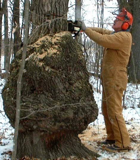 How To Harvest And Sell Burls Cuttings Woods And
