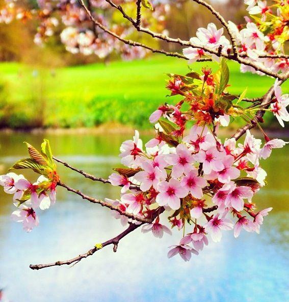 Cherry Blossoms Natural Scenery Blossom Cherry Blossom