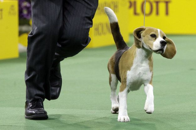 A Beagle Named Miss P Won Best In Show At Westminster