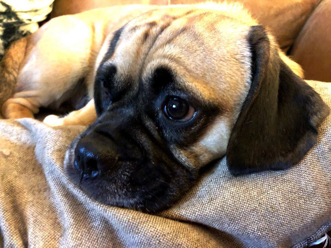 Long Day Lots Of Walks Chilled On The Sofa Now Puggle Puppy