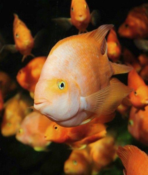 Pin On Aquarium Tropical Fish