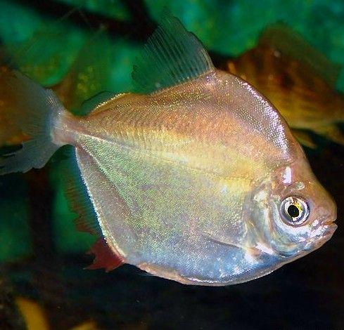 Silver Dollar Fish With Images Fish Pictures Online Oscar Fish Tropical Fish Aquarium Fish