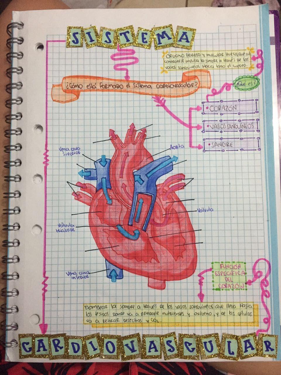 Sistema cardiovascular, anatomía   FAVS   Pinterest   Sistema ...