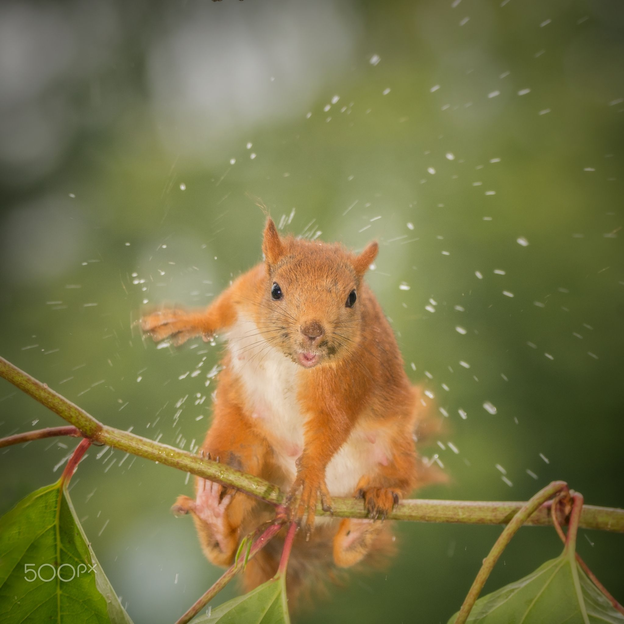 shake it of - close up of wet red squirrel standing on a branch looking in  the lens shaking out water only focused on the head | Squirrel, Red  squirrel, Animals
