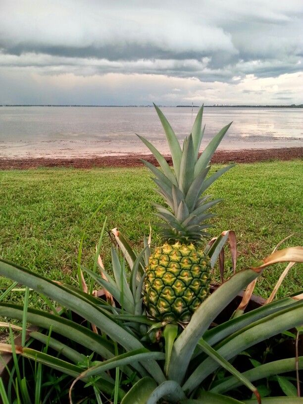 Largest pineapple almost ripe mid July love longboat key summers