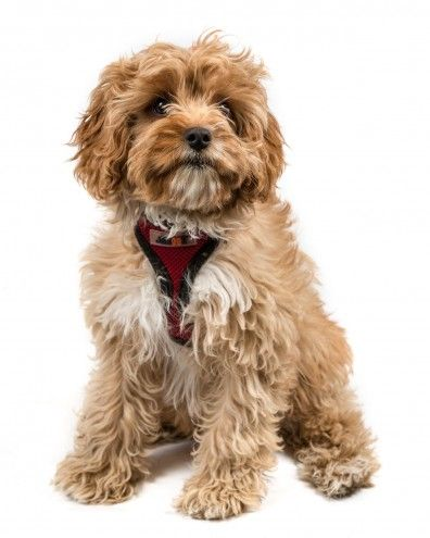 The Top 5 Most Popular Cross Breed Or Hybrid Dog Breeds In The Uk