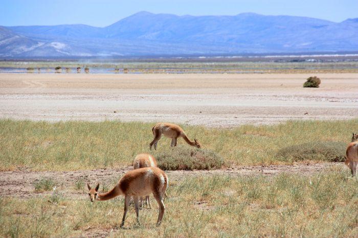 Vicuñas salvajes cerca de la Salinas Grades. Norte de Argentina. Más en diariodeabordoblog.com