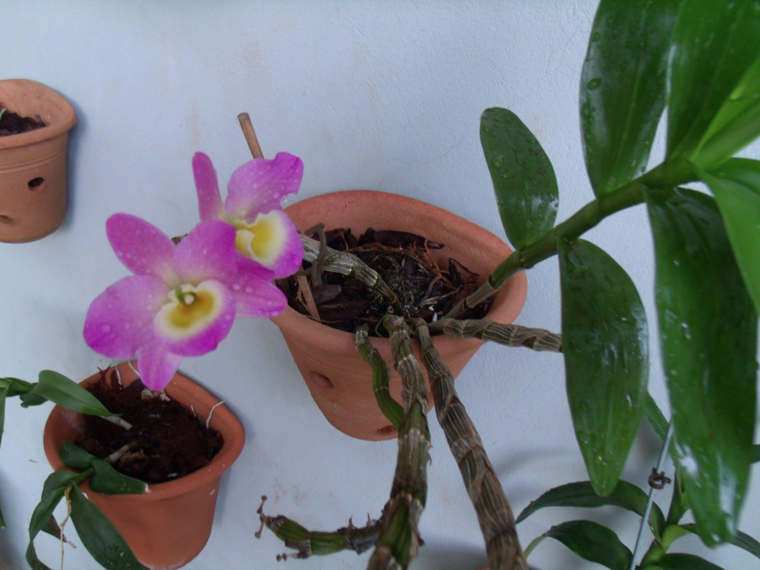 mais uma orquídea dando o ar de sua mimosa graça.
