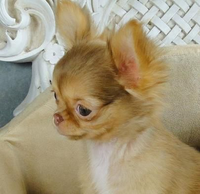 Female Long Hair Chihuahua Puppies For Sale Female Teacup Chihuahuas For Sale Long Haired Chihuahua Puppies Teacup Chihuahua Puppies Chihuahua Puppies For Sale