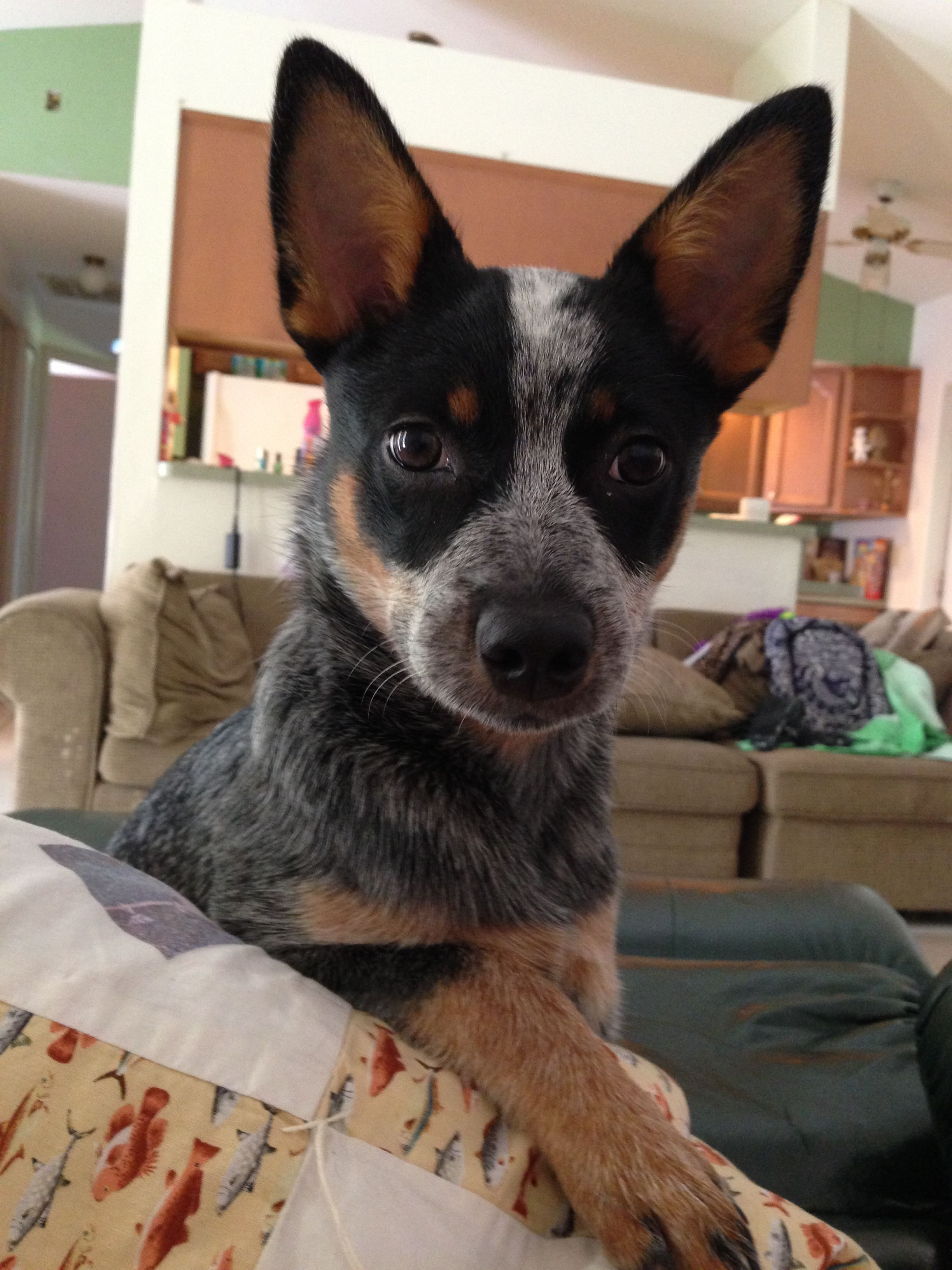 Blue heeler puppy Australian Cattle Dog Pinterest Cattle