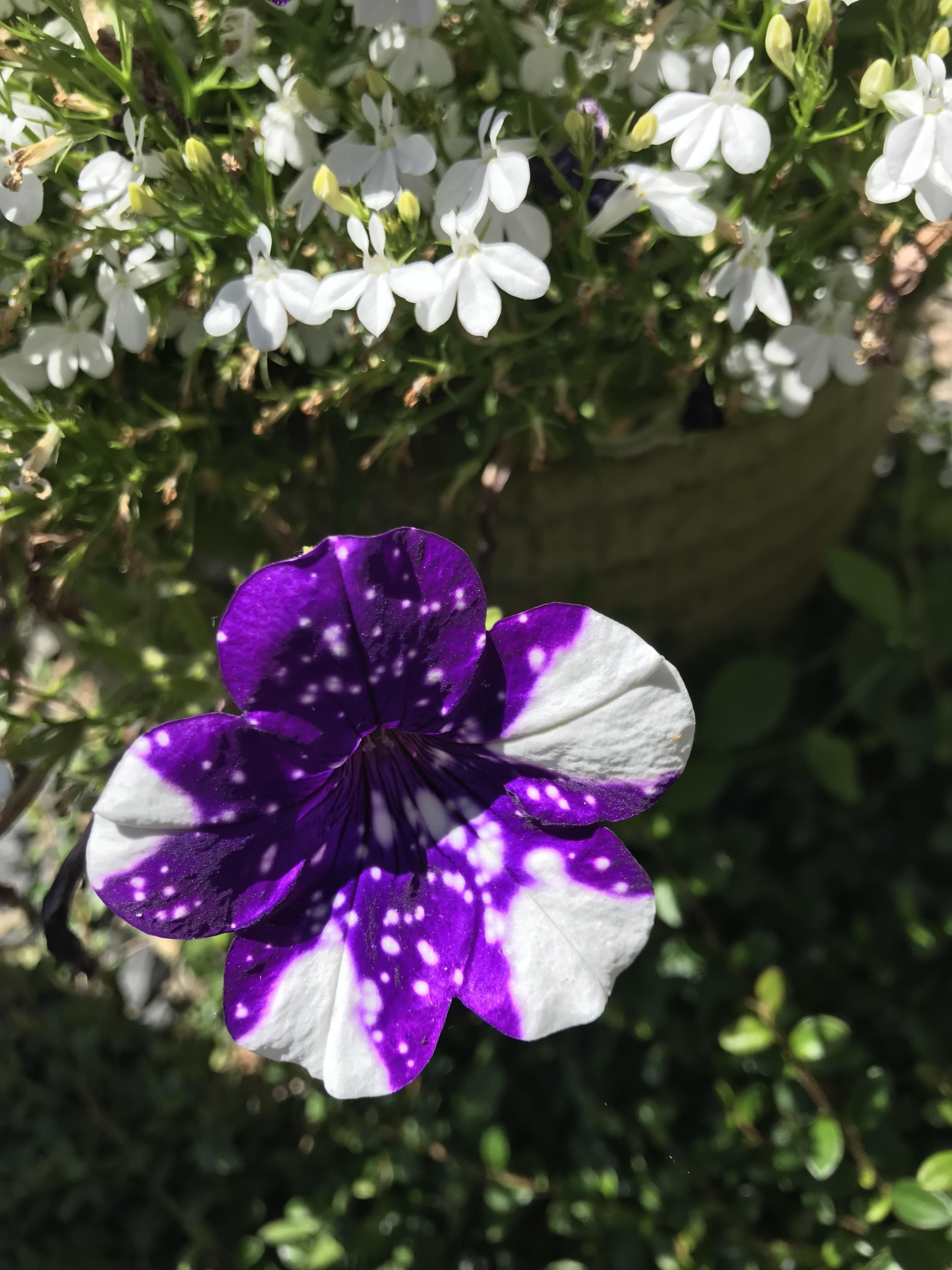 My Friends Night Sky Petunias Are Turning White Gardening